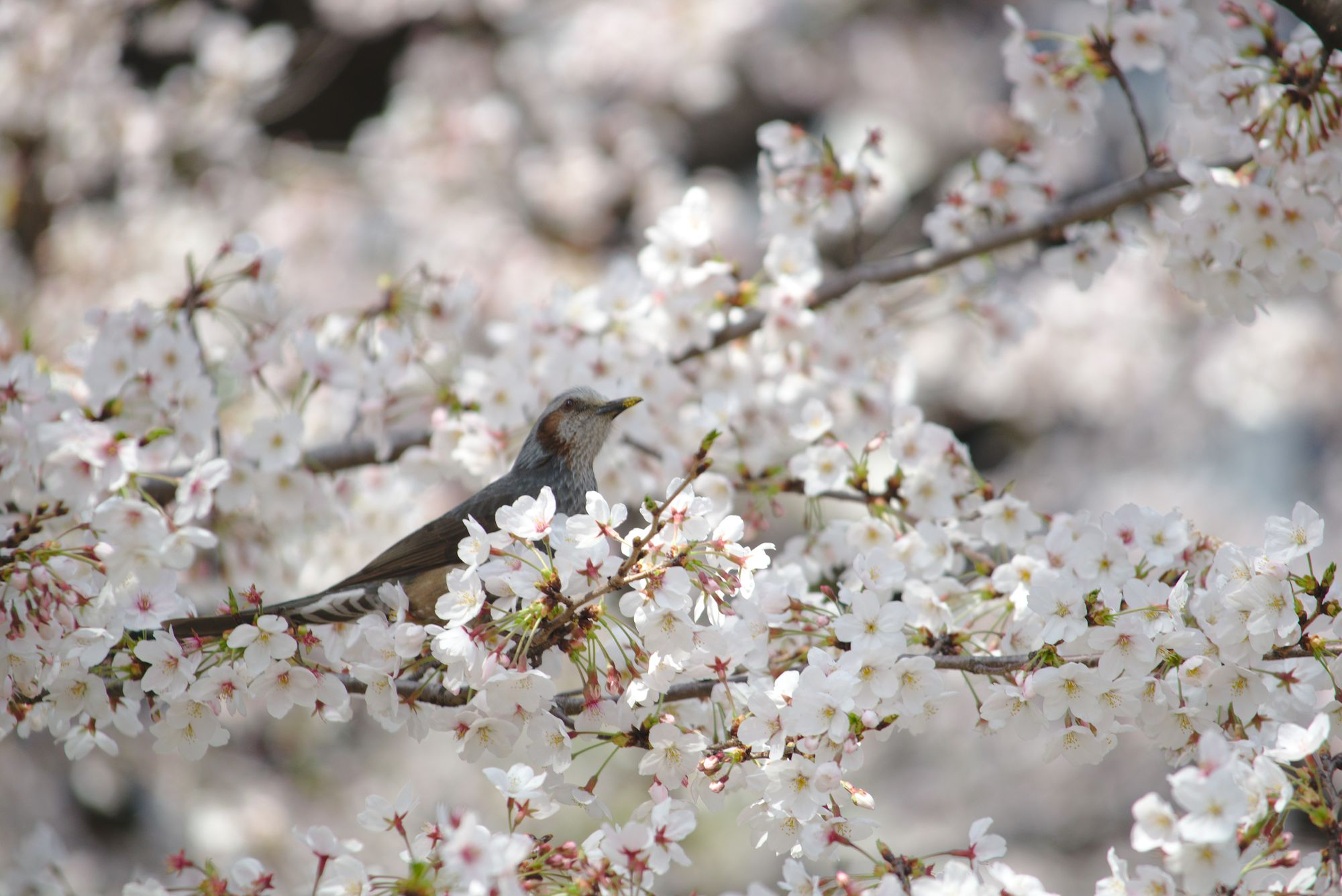 Sakura With Brown-Eared Bulbul