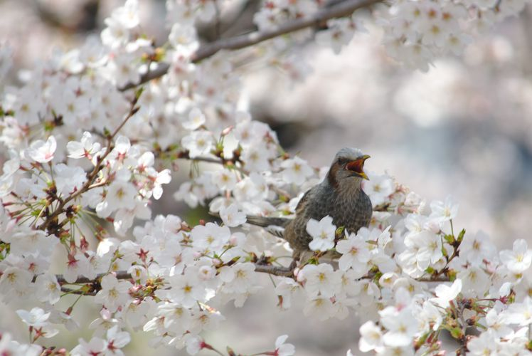 Sakura With Brown-Eared Bulbul 01