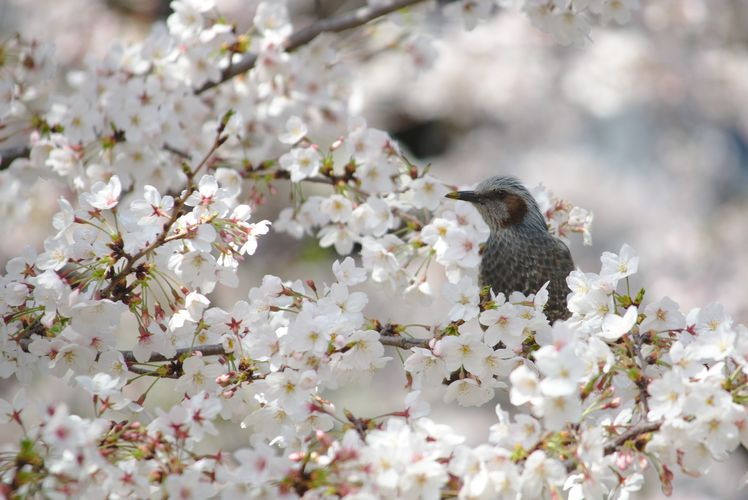 Sakura With Brown-Eared Bulbul 02