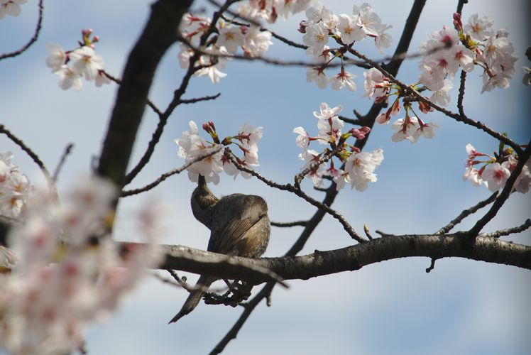 Sakura With Brown-Eared Bulbul 03