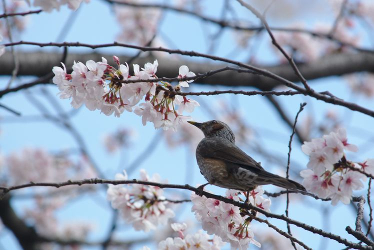 Sakura With Brown-Eared Bulbul 04