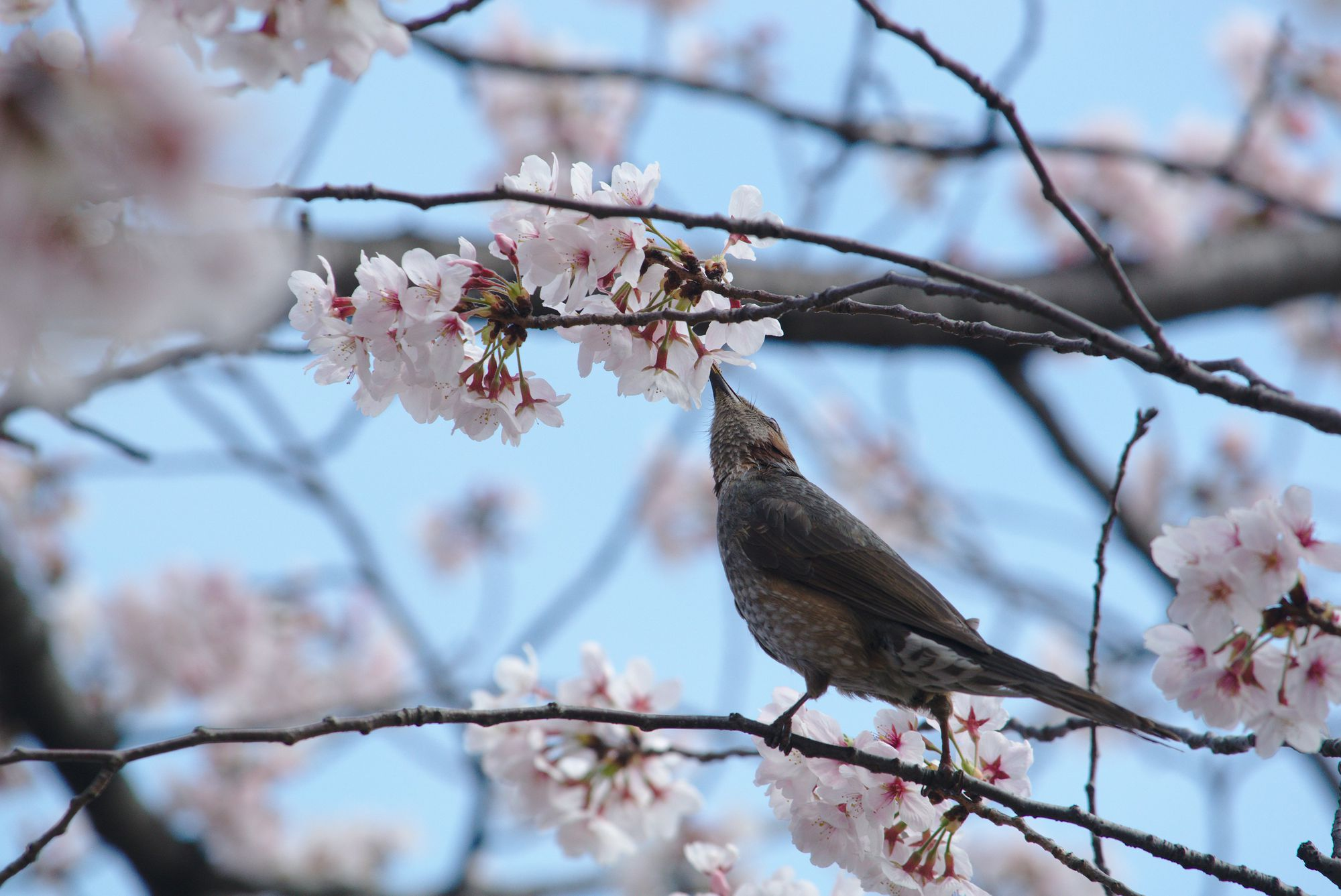 Sakura With Brown-Eared Bulbul 05