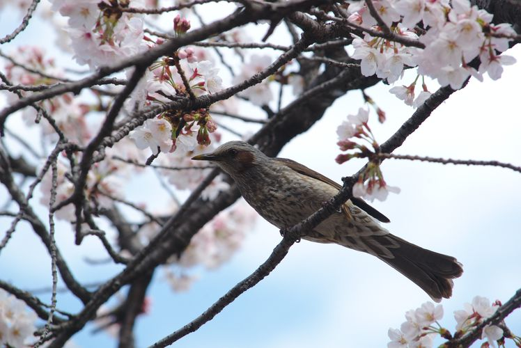 Sakura With Brown-Eared Bulbul 06