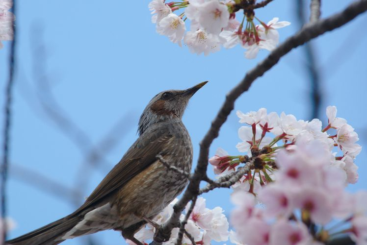 Sakura With Brown-Eared Bulbul 07
