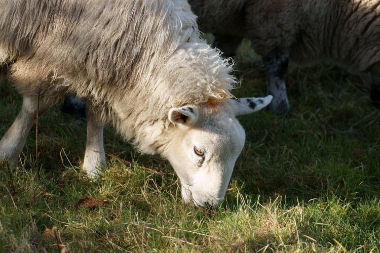 Sheep Near Wheathampstead